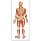 The Human Skeleton Chart, rear,V2002U