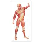 The Human Musculature Chart, front,V2003M