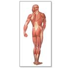 The Human Musculature Chart, rear, 1001153 [V2005M], Muscle