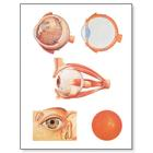 The Eye I Chart, Anatomy,V2011M