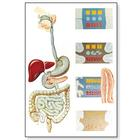 The Digestive System Chart,V2043M