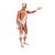 Life-Size Human Male Muscular Figure, 37 part - 3B Smart Anatomy, 1001235 [VA01], Muscle Models (Small)