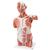Life-Size Human Muscle Torso Model, 27 part - 3B Smart Anatomy, 1001236 [VA16], Muscle Models (Small)