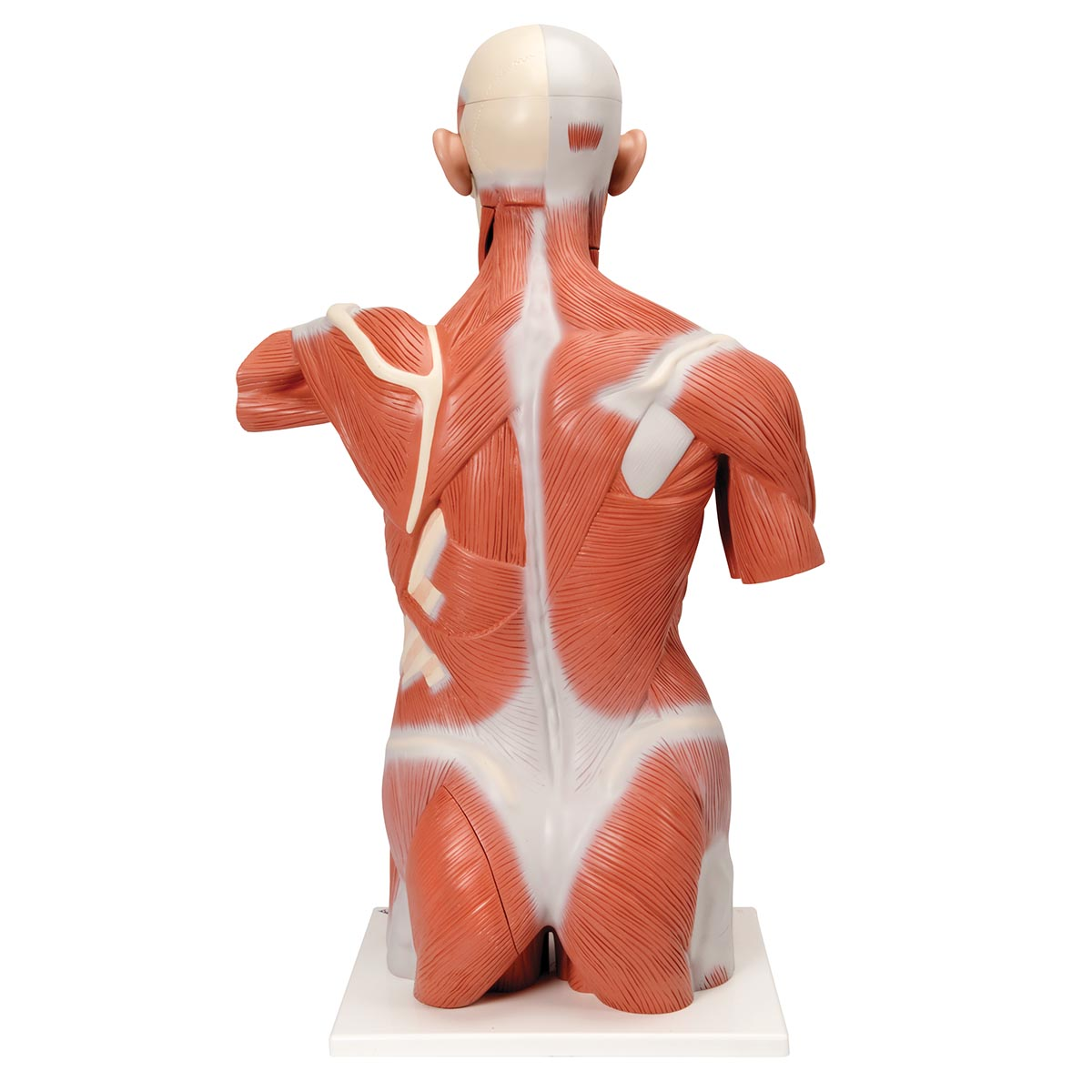 anatomical teaching models | plastic human muscle models | dual, Muscles