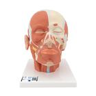 Head Musculature Model - 3B Smart Anatomy, 1001239 [VB127], Head Models