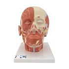 Head Musculature additionally with Nerves, 1008543 [VB129], Head Models