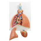 Lung Model with Larynx, 5 part - 3B Smart Anatomy, 1001243 [VC243], Lung Models