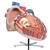 Giant Human Heart Model, 8 times Life-Size - 3B Smart Anatomy, 1001244 [VD250], Human Heart Models (Small)