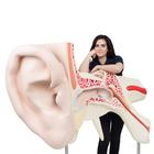 World's Largest Ear Model, 15 times full-size, 3 part, 1001266 [VJ510], Ear Models