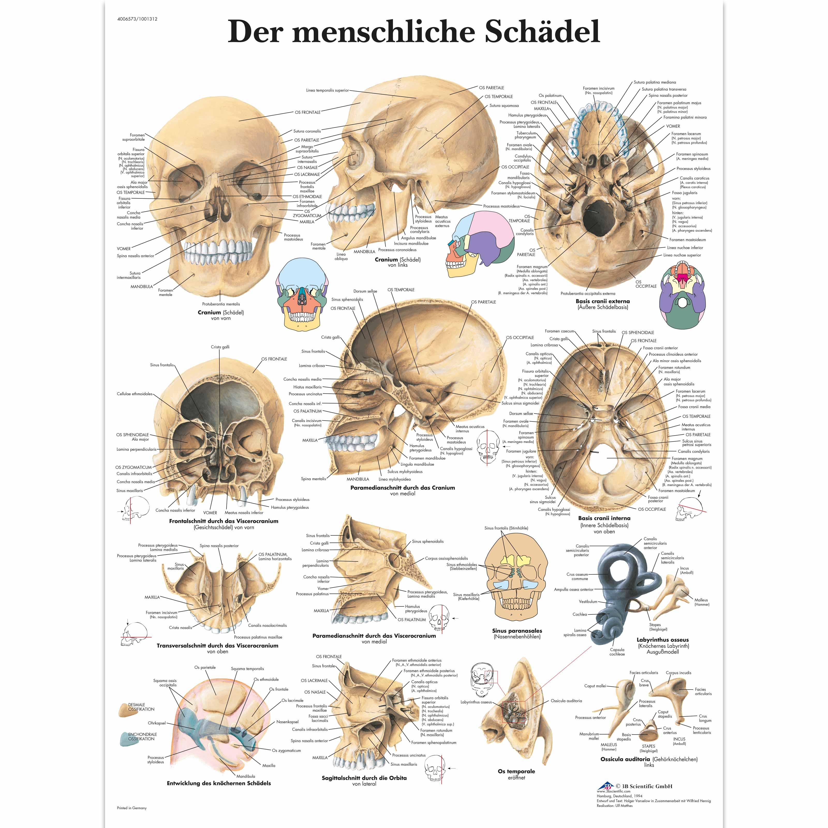 Der menschliche Schädel - 4006573 - VR0131UU - Skeletal System - 3B ...
