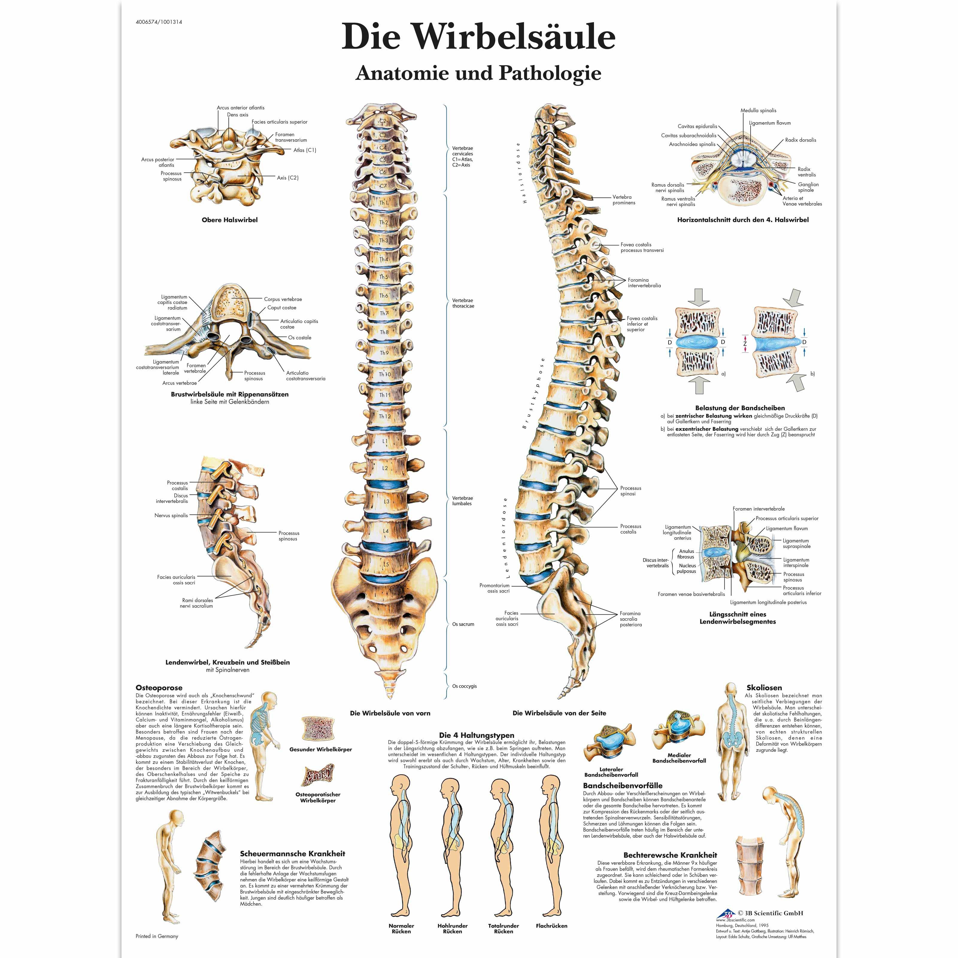 Die menschliche Wirbelsäule - Anatomie und Pathologie - 1001314 ...