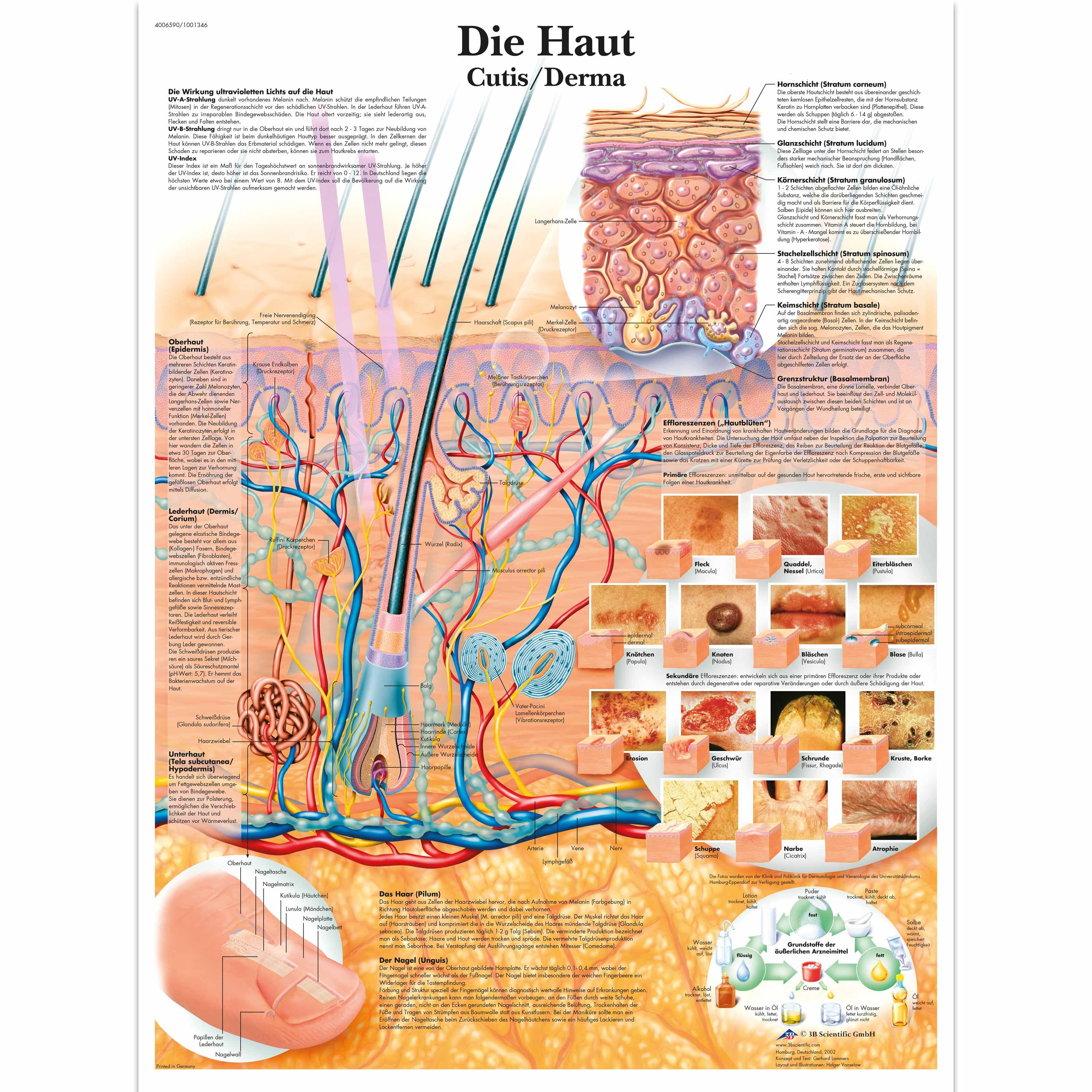 Großzügig Haut Anatomie Und Physiologie Ideen - Menschliche Anatomie ...