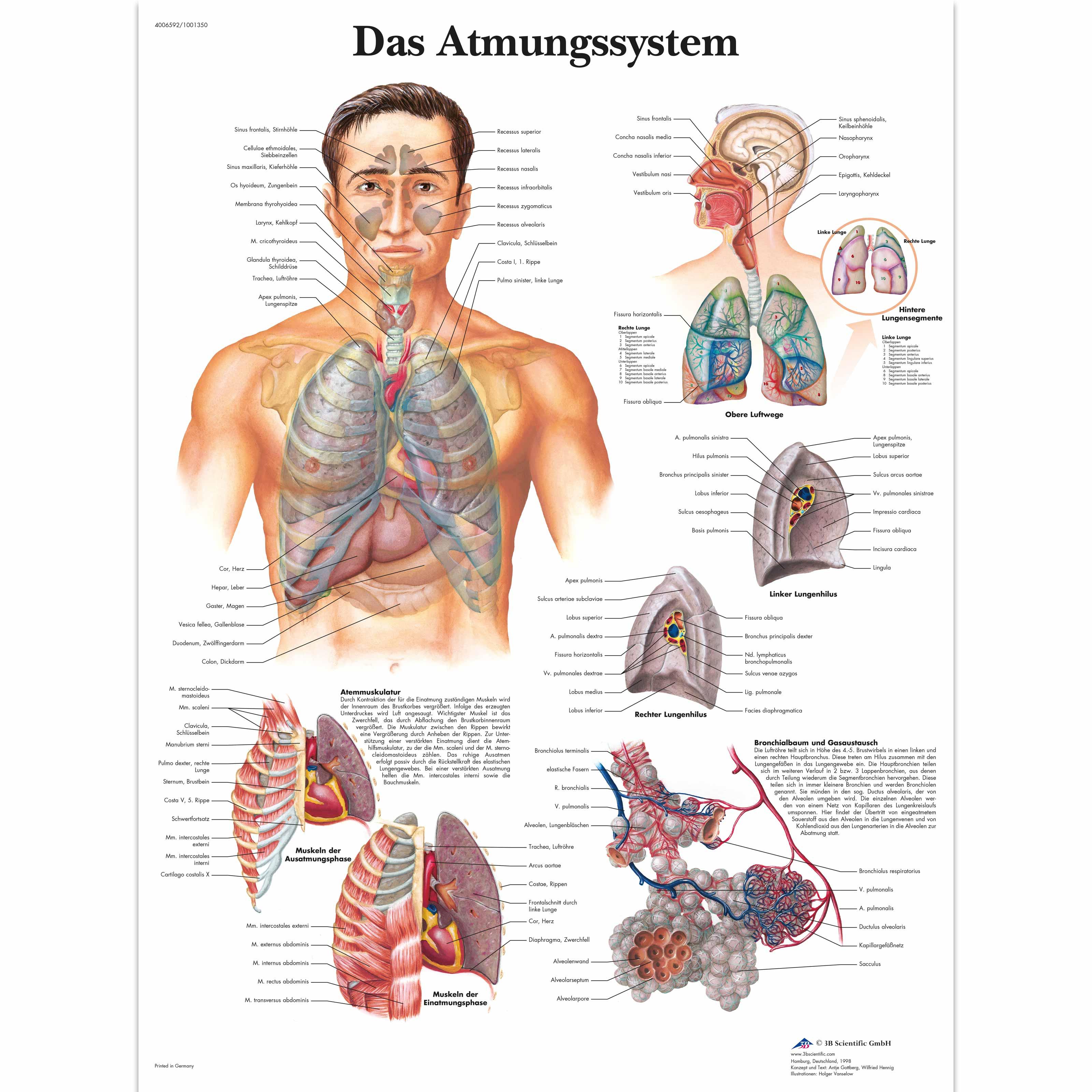 Nett Die Anatomie Des Atmungssystems Fotos - Anatomie Ideen ...