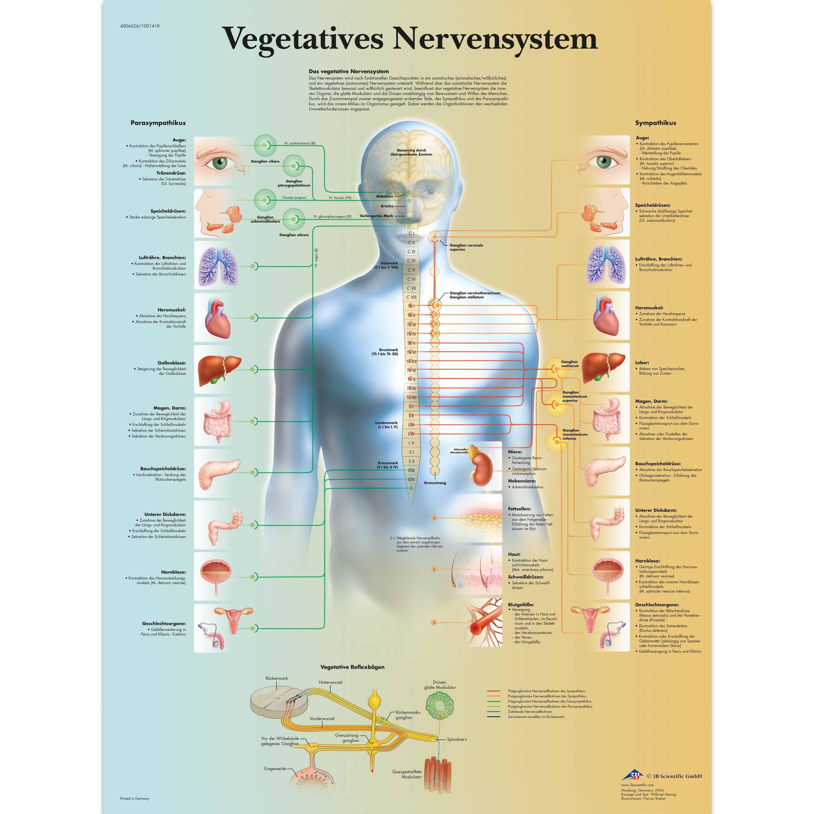 Großzügig Was Anatomie Und Physiologie Zeitgenössisch - Menschliche ...