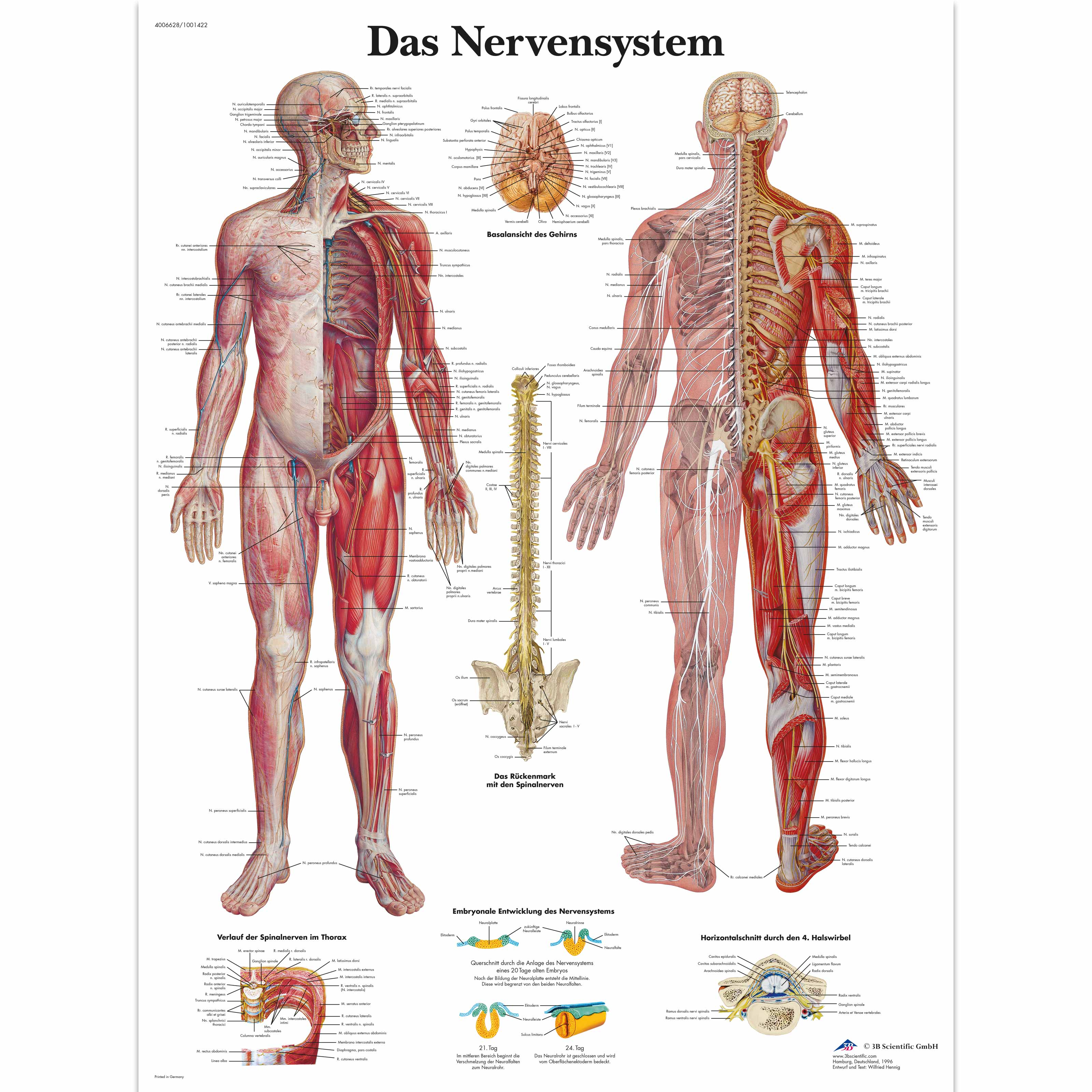 Das Nervensystem - 4006628 - VR0620UU - Brain and Nervous system ...