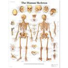 Anatomical Charts, Poster Size
