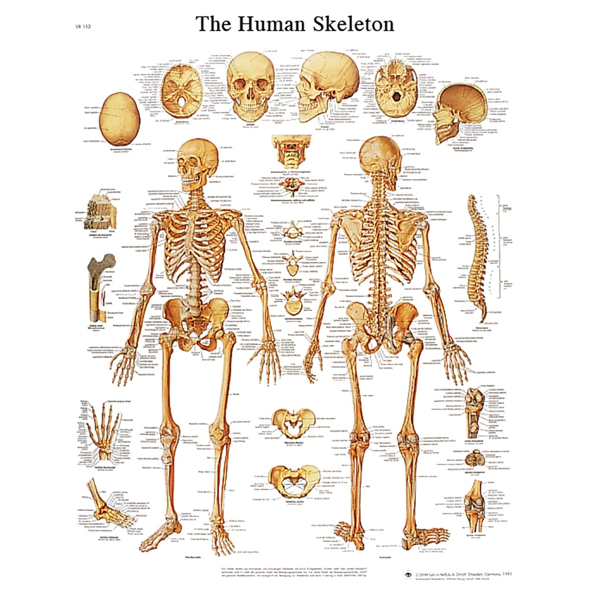 Human Skeleton Model Labeled Human skeleton stickychart