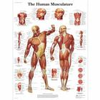 Human Muscle Chart,VR1118L