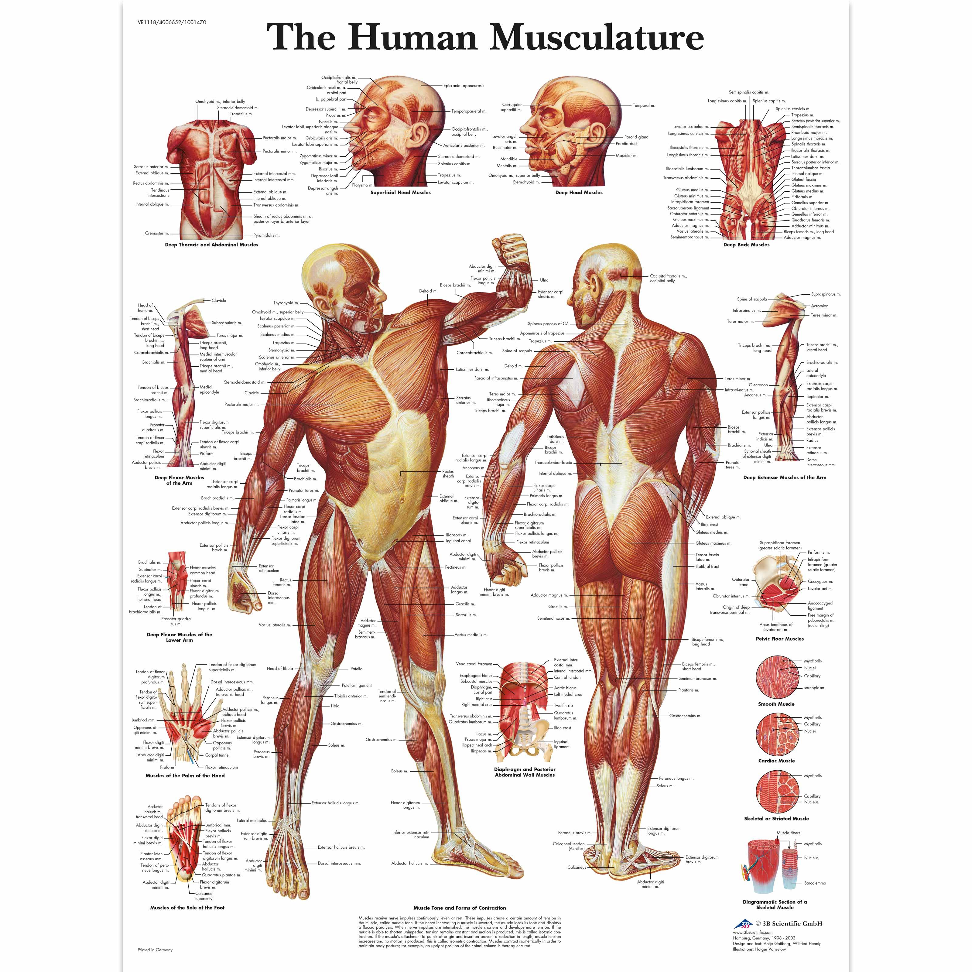 Human Muscle Chart Human Muscle Poster Human Musculature Chart