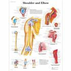 Shoulder and Elbow Chart, 4006658 [VR1170UU], Skeletal System