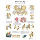 Pelvis and Hip Chart - Anatomy and Pathology, 1001486 [VR1172L], Skeletal System