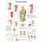 Knee Joint Chart, 1001488 [VR1174L], Skeletal System