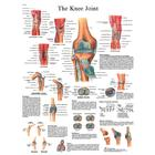 Knee Joint STICKYchart™, VR1174S, Skeletal System