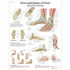 Foot and Joints of Foot Chart - Anatomy and Pathology,VR1176UU