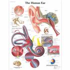 Human Ear Chart, 4006667 [VR1243UU], Ear, Nose and Throat (ENT)