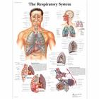 The Respiratory System Chart,VR1322L
