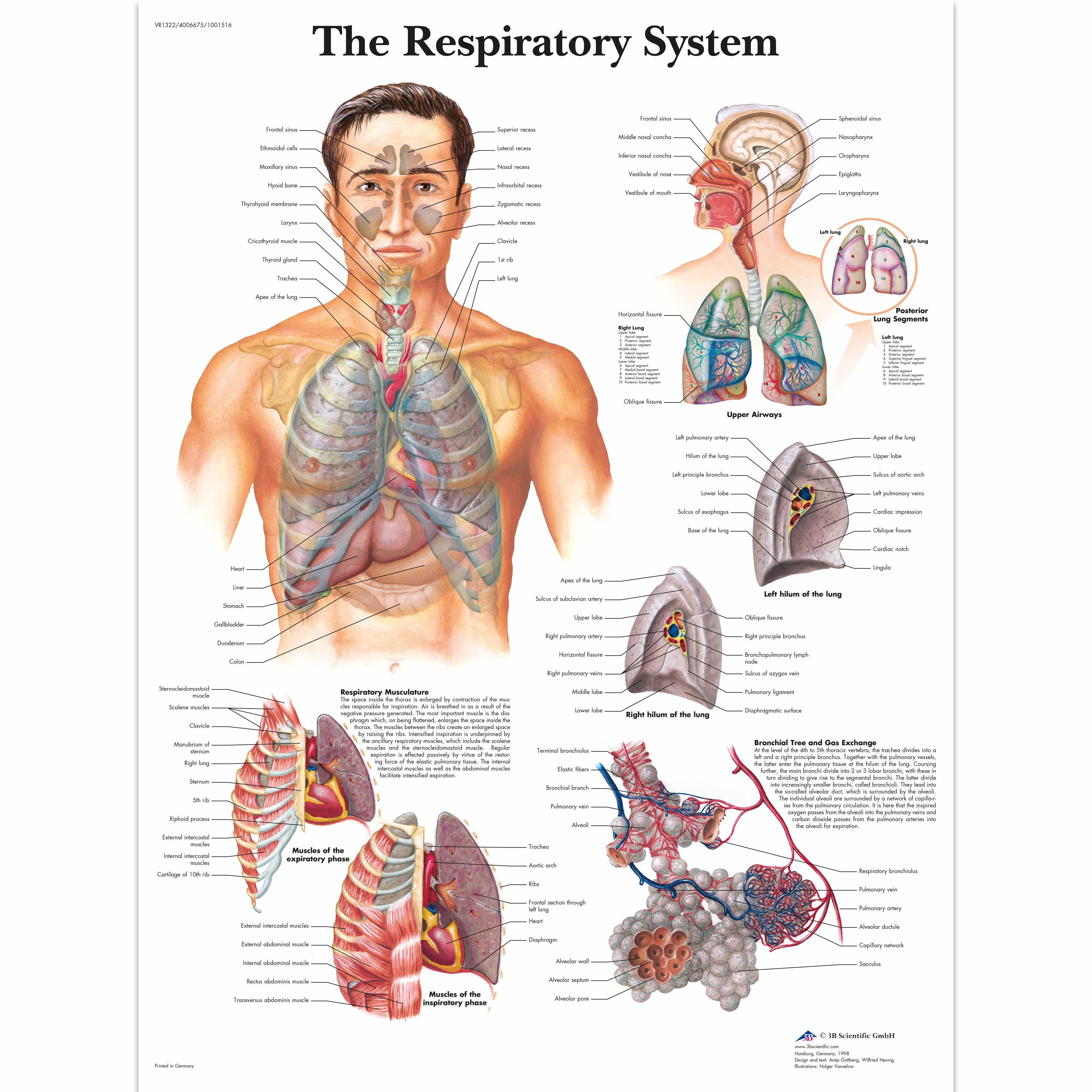 Anatomical charts and posters anatomy charts respiratory system