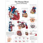 The human heart Chart - Anatomy and Physiology,VR1334L