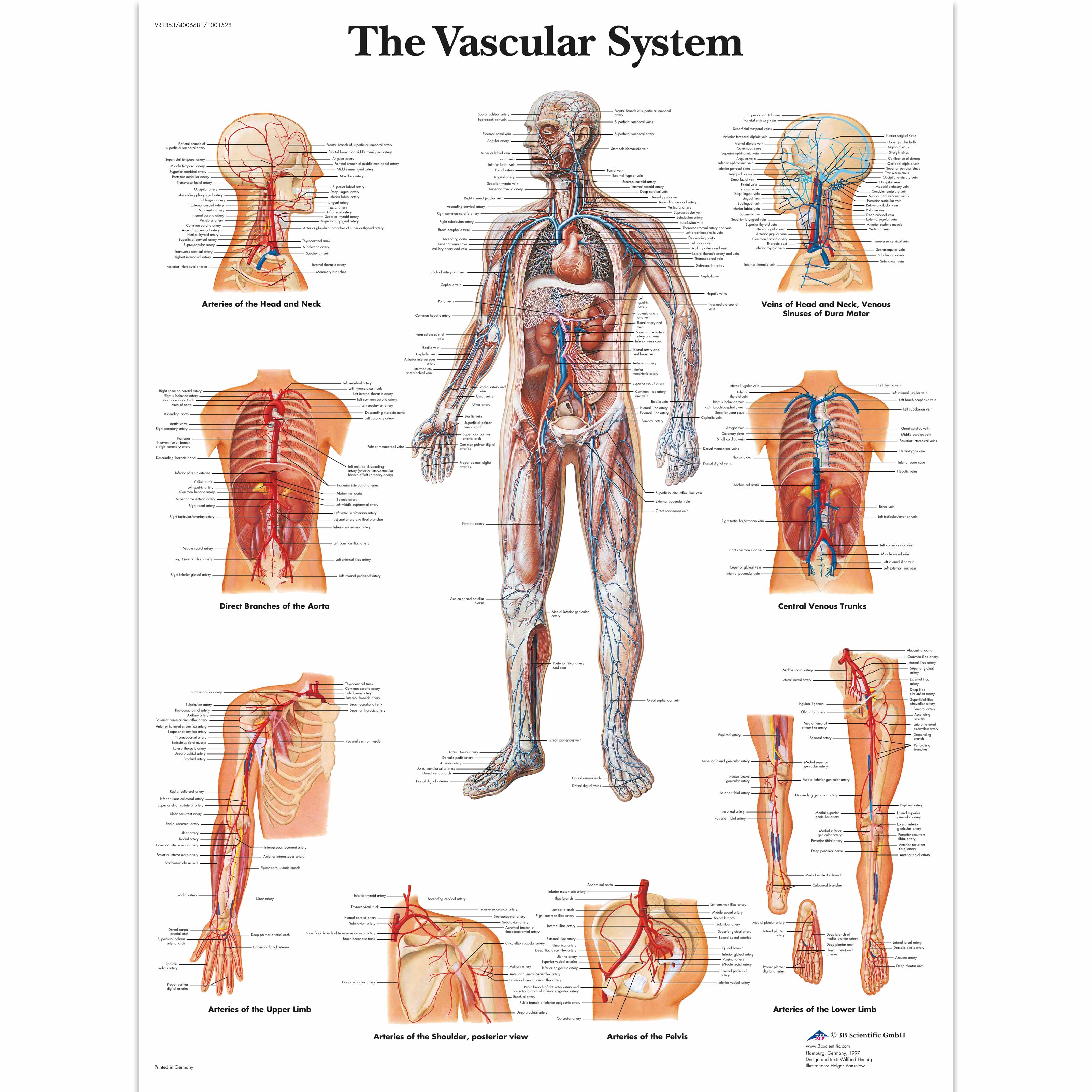 Anatomical charts and posters anatomy charts vascular system