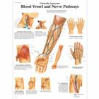 Clinically Important Blood Vessel and Nerve Pathways Chart, 1001530 [VR1359L], Cardiovascular System