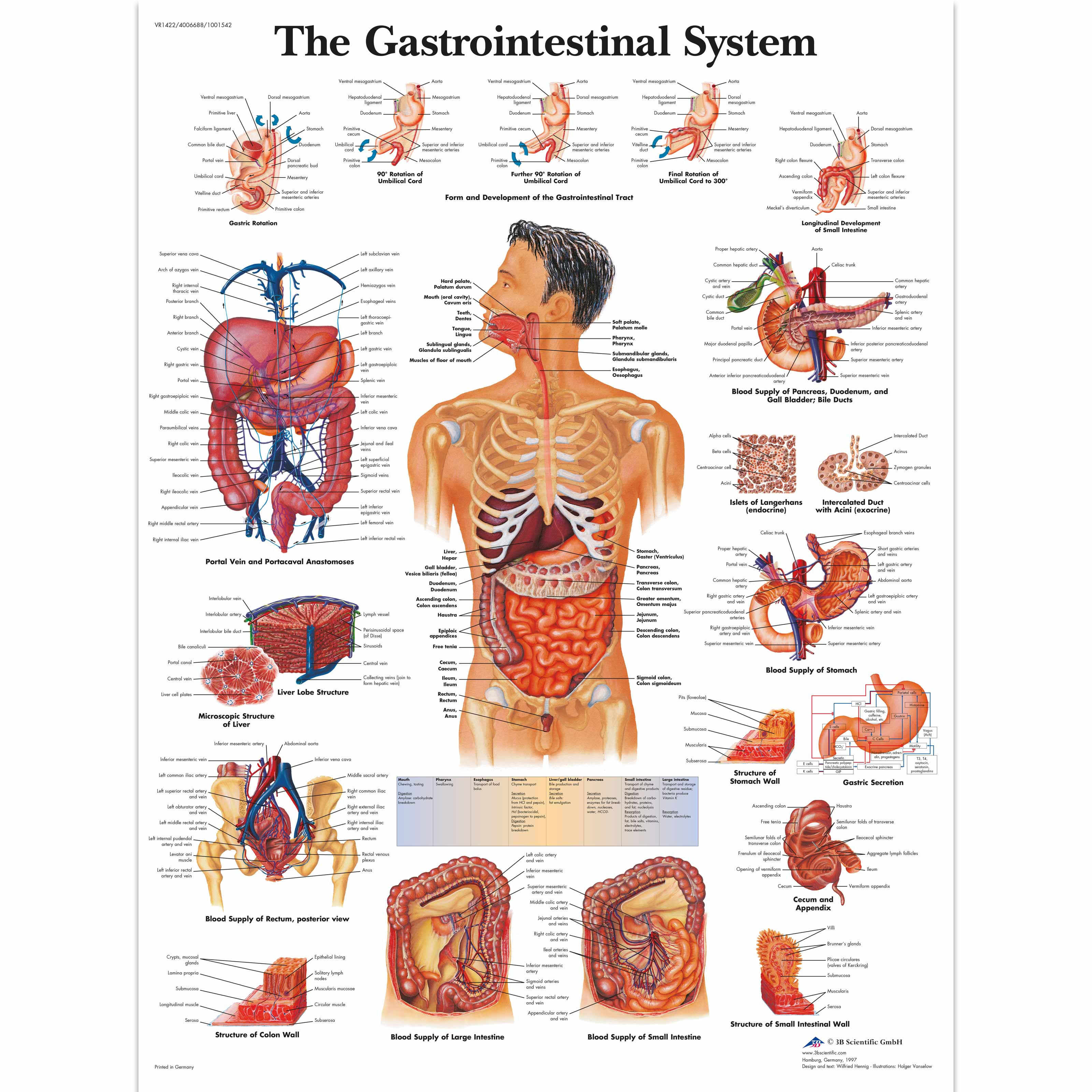 Anatomical Charts and Posters - Anatomy Charts - Gastrointestinal ...