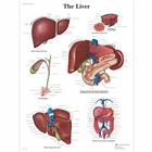 Liver Chart, 1001544 [VR1425L], Metabolic System