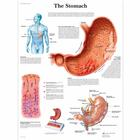 The Stomach Chart, 1001546 [VR1426L], Digestive System