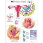 VR1532L: The Female Genital Organs Chart