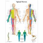 Spinal Nerves Chart, 1001588 [VR1621L], Brain and Nervous system