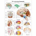 Le cerveau humain, 1001751 [VR2615L], Brain and Nervous system