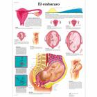 El embarazo, 4006865 [VR3554UU], Pregnancy and Childbirth