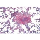 Histology of Mammalia, Elementary Set - German Slides, 1004074 [W13306], Zoological histology