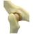 Feline Hip Model, 1019587 [W33377], Osteology (Small)
