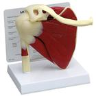 Articulating Rotator Cuff Model, 1019515 [W42005], Joint Models