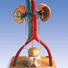 Free-Standing Urinary System, male,W42510