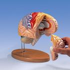 Neuro-Anatomical Brain, 4 part - German,W42530