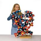 Giant DNA Model, 1005559 [W42580], DNA Models