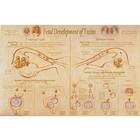 Fetal Development & Presentation of Twins Chart,W43094