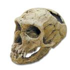 Bone Clones® Homo neanderthaliens Skull, W59307, Anthropology