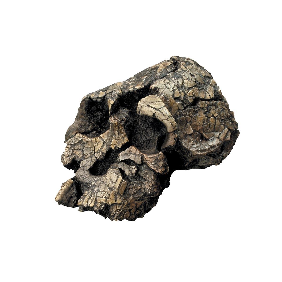 Comparative Anatomy Model Plastic Skull Model